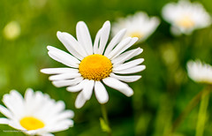 DSC_8555 (Patrick Herzberg) Tags: plant holland closeup nikon groen stilleven tuin lente landschap bloem 2016 bloemenenplanten d5200 floraenfouna bollenenknollen