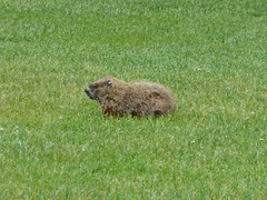 Groundhog (tapaculo99) Tags: animal mammal rodent maine woodchuck groundhog marmotamonax