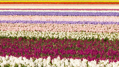 A carpet of hyacinths (Lily Garnier) Tags: hyacinth bulbs bulbousfloweringplants fragrantblooms fieldofflowers lisse holland colours hyacinths canon7d