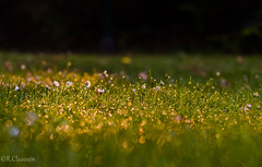 Morgentau (1 von 1) (ostfriese77) Tags: morning beautiful 50mm nikon bokeh sonnenstrahlen morgentau d5100