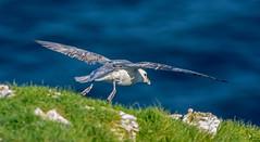 JWL9545 Fulmar. (jefflack Wildlife&Nature) Tags: birds wildlife gulls coastal fulmar avian seabirds shorebirds bempton