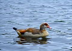 Egyptian Goose.....I think ?? (jack_renehan) Tags: lake feet wet water swim ginger duck beak feathers paddle petersfield webbed