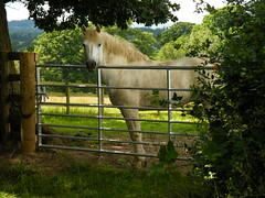 At the gate (rospix+) Tags: uk horse white june wales countryside gate 2016 rospix