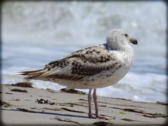 DSCN9805 (DianeBerky19) Tags: beach seagull gulls nikoncoolpixp900