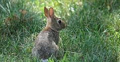 Rabbit Run (Harry Lipson) Tags: wild rabbit bunny animal fur ears whiskers rabbitears bunnyrabbit bokey rabbitrun harrylipsoniii harrylipson