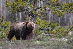 The Look (RH Miller) Tags: bear usa wildlife wyoming grizzlybear grandtetonnationalpark reedmiller rhmiller