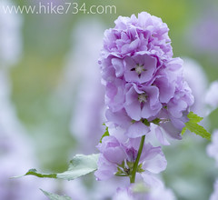"""Hollyhock • <a style=""""font-size:0.8em;"""" href=""""http://www.flickr.com/photos/63501323@N07/6775215008/"""" target=""""_blank"""">View on Flickr</a>"""