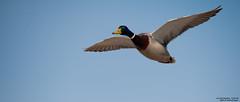 germano reale (taronik) Tags: natura uccelli cielo animali germanoreale cacciafotografica blinkagain allofnatureswildlifelevel1
