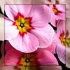 For Ira`s Mum - Happy Birthday ! (doro 51) Tags: pink blue spring purple natur blossoms pflanzen rosa lila blau frühling blüten fantasticflower flickrsfantasticflowers awesomblossoms