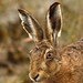 Brown hare NottsWT (cpt Sean Browne)