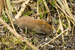 Bank vole (Ian-S) Tags: uk norfolk sculthorpe bankvole clethrionomysglareolus
