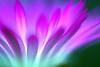 "Daisy:雏菊花 (love_child_kyoto) Tags: park flower macro nature garden march spring nikon kyoto gardening sigma flowerbed pinkflower 京都 daisy 自然 botanicalgarden 冬 マクロ 公園 春 三月 ピンク 庭園 livingstonedaisy 初春 ヒナギク ネイチャー masterphotos 京都府立植物園 デイジー dorotheanthusbellidiformis flickrestrellas spiritofphotography awardtree ""nikonflickraward"" ""flickraward"" mindigtopponalwaysontop ひな菊 リビングストンデージー persephonesgarden 紅玻璃草 ベニハリソウ takenwithhardwork taknwithhardwork"