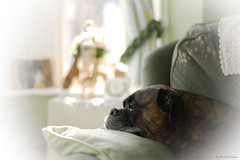 The Final Countdown (roddersdad) Tags: dog pets march boxerdog vignette roderick 2012 canonef50mmf14 petdogs canon1dsmkll wwwimagesbyclivecouk copyrightclivejmaclennan