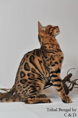 DSC_3534 (C & D Photo) Tags: roses glitter branches greeneyes whitebackground leopard pandora bengal bengalcats studiophoto bois bagheera tabbycats yeuxverts gorgeouscats fondblanc brownspotted photopro professionalpetphotography catswithgreeneyes cndphotos cndphoto chatsbengal tribalbengal glitterglambagheera glitterglampandora