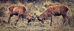 Pelea de machos (Iigo Escalante) Tags: naturaleza nature animals fauna fight row animales pelea macho cuernos ciervo corns