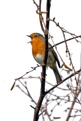 Shut ya beak (Mr Grimesdale) Tags: robin birds mr steve wallace gardenbirds britishbirds grimesdale