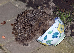 Look who's back! (Judy's Wildlife Garden) Tags: hedgehog lookwhosback judykennett knightonpowys