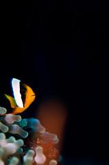 anemfishcnr9186ws (gerb) Tags: topv111 underwater scuba anemone anemonefish tvp similanislands 105mmf28micro d7000