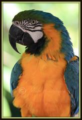 ararauna (massimo randone) Tags: portrait max canon colore miami uccelli giallo ritratto 70200 animali vacanza vacanze massimo randone