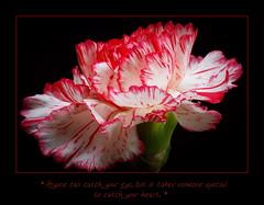 happy valentine's day!!!! (maar73) Tags: flowers winter flower macro love nature photo petals flora close friendship sony natuur valentine dianthus bloemen liefde 2012 blooming bloem februari seizoen vriendschap anjer pictures 14februari seasson maar73 sonyslt65