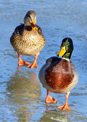 I will follow him wherever he may go.... (ctberney) Tags: winter ontario canada love ice frozen ducks mallard stratford avonriver