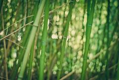ninja hideout (svllcn) Tags: green 50mm nikon bokeh ninja bamboo hideout