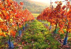 Autumn Vineyard (Habub3) Tags: park wood travel blue autumn red holiday green rot fall texture nature colors leaves lines forest canon germany garden landscape deutschland vineyard europa europe natural stuttgart urlaub herbst natur vine powershot blatt landschaft wald garten vacanze 2012 reise farben weinberg g12 rotenberg remstal habub3