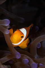 Purple & Orange (digidiverdeb) Tags: clownfish nikkor60mm rajaampat msyseahorse debihenshaw nauticamd300s
