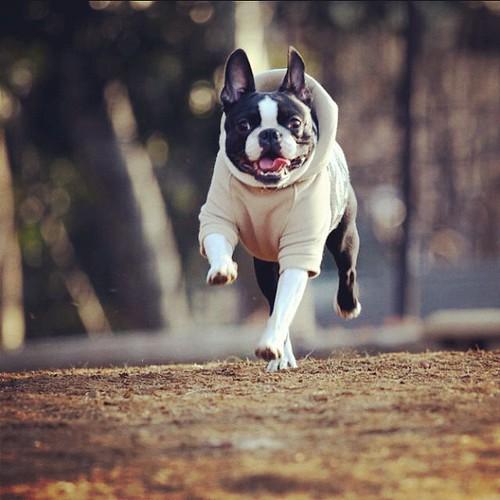 ダイエット! #leon #bostonterrier #dog #ボストンテリア #dogstagram #petstagram