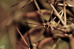 Spiky II (LaKry*) Tags: cactus plant nature succulent bokeh natura spine thorns pianta