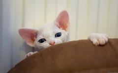 Peeking Hippie 1 (peter_hasselbom) Tags: cats cat 50mm kitten f14 blueeyes naturallight kittens devonrex 5weeksold iso640 sirex creampointedwithwhite