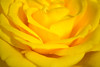 Yellow Rose - Close up (Peter_939) Tags: flower rose yellow yellowrose macrorose closeuprose closeupofflower
