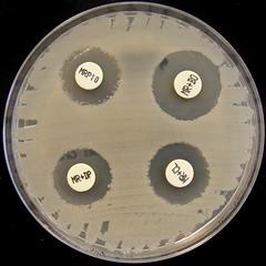 Klebsiella pneumoniae KPC-1 -  Carbapenemase Detection Kit (Nathan Reading) Tags: hospital doomsday antibiotic resistance infection superbug antibiotics kpc antimicrobial superbugs cloxacillin klebsiella imp1 klebsiellapneumoniae kpneumoniae ndm1 multiresistant antibioticresistance carbapenemase metallobetalactamase newdelhimetallobetalactamase nctc10418 roscodiagnostica dipicolinicacid boronicacis panresistant