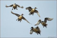 "Pintail Ducks (20120307-0457) (Earl Reinink) Tags: travel ontario canada bird art nature birds photography landscapes duck nikon flickr canadian niagara waterfowl bif ""lake ""bird ""nikon ""niagara photography"" ""birds ""nature ontario"" ""landscape ""fine duck"" ""earl peninsula"" flight"" lenses"" ""travel erie"" d3"" birdperfect d3s"" reinink"" ""pintail"