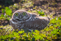 You Looking at Me? (Chris Fullmer) Tags: california aves basin owl sacramento athene animalia athenecunicularia burrowingowl strigiformes burrowing strigidae yolo chordata taxonomy:class=aves taxonomy:kingdom=animalia taxonomy:phylum=chordata taxonomy:common=burrowingowl taxonomy:genus=athene taxonomy:species=cunicularia taxonomy:order=strigiformes taxonomy:family=strigidae tecolotellanero yolobasinwildlifearea taxonomy:binomial=athenecunicularia taxonomy:common=tecolotellanero chevchedesterriers taxonomy:common=chevchedesterriers