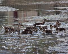 De pata madre (kike.matas) Tags: espaa nature rio canon agua sigma aves animales catalunya patos lleida segre canoneos50d kikematas pse8 sigmaapo70200f28iiexdgmacrohsm