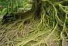 Roots (Keith Mac Uidhir 김채윤 (Thanks for 5m views)) Tags: bali brown plant elephant tree green nature leaves garden indonesia asian religious island moss asia asien natural buddha buddhist south religion goa roots buddhism east cave asie root shape tp gajah indonesian aasia asya á indonesië indonesien ubud balinese azia azië بالي ásia indonésia インドネシア indonésie 亚洲 バリ島 亞洲 châu indonezja 巴厘岛 印度尼西亚 인도네시아 발리 아시아 endonezya آسيا востраў ázsia азия indonesya ινδονησία indonézia indonezia μπαλί ασία बाली балі indunisia индонезиэ азиэ બાલી