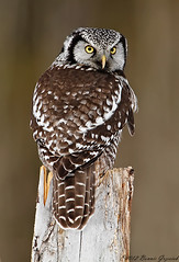 Northern Hawk Owl  9554 (Bonnieg2010) Tags: canada raptor owl northern hawkowl northernhawkowl southernalberta sweetfreedom onlythebestofnature allnaturesparadise bonniegrzesiak