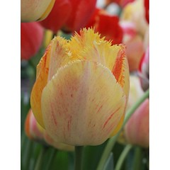 Tulpe #flower #flowers #flowerlover #flowermacro #plant #yellow #spring #tulip #tulpe #color #natur #nature #nature_josefharald #nofilter #macro #macro_power_hour #macroflower #igersgermany #germany #instagramhub #keukenhof