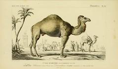 Anglų lietuvių žodynas. Žodis camelus dromedarius reiškia <li>camelus dromedarius</li> lietuviškai.