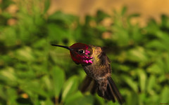 Male Anna's BIF (Pat Durkin - Orange County, CA) Tags: maleannashummingbird