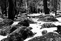 Forest floor in snow (chris.murphy) Tags: forest yosemite snowfall yosemitesnow