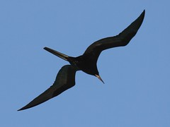 Magnificent Frigatebird (B-Boy 2) Tags: magnificent frigatebird