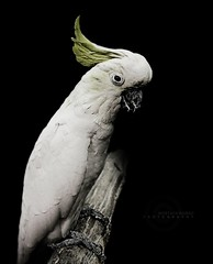 Parrot (MOSTAFA HAMAD | PHOTOGRAPHY) Tags: pictures bird photography fotografie photographie cockatoo fotografia hamad  mostafa fotografa fotografering  fotoraflk