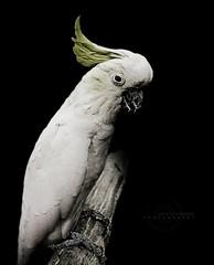 Parrot (MOSTAFA HAMAD | PHOTOGRAPHY) Tags: pictures bird photography fotografie photographie cockatoo fotografia hamad  mostafa fotografa fotografering  fotoraflk