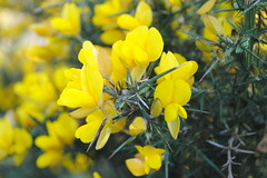 Gorse (colette wq) Tags: plants yellow wildflowers gorse irishcountryside