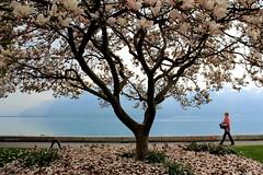 Pink (overthemoon) Tags: pink woman mountain lake walking schweiz switzerland suisse blossom fallen magnolia svizzera lman quai lakefront vevey blooming vaud romandie 1j1t