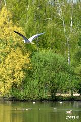 Le héron côtoyait une rivière (Christian Mens) Tags: étang héron etang ladombes dombes villarslesdombes échassier parcdesoiseaux ardéidés héronenvol