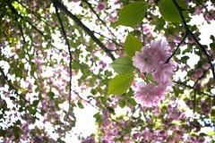 SDIM3462 (Keishi Etoh rough-and-ready photoglaph) Tags: flower cherry 28mm sigma  cherryblossoms foveon dp1  sigmadp1x dp1x