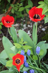 love tulips (Marich1111) Tags: red flower tulips lupins redtulips